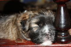 Slaapt de puppy tweede week Close-up stock afbeelding