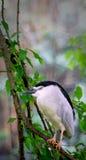 Slaapvogel Royalty-vrije Stock Foto's