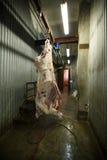 slachthuiskoeien, die op haken in de koude helft koeien hangen Stock Afbeelding