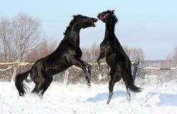 Slag van twee hengsten Royalty-vrije Stock Afbeelding