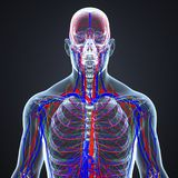 Slagaders, Aders en lymfeknopen met Skeletachtige Lichaams Voorafgaande mening royalty-vrije illustratie