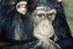 Slagen kvinnlig Chimpanze Royaltyfri Bild