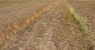 slaggräs för vind 4k på fältet, shangrila yunnan, porslin arkivfilmer