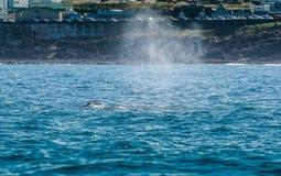 Slaghål av Gray Whale i den Depoe fjärden royaltyfri bild