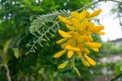 slags växt sesbania thailand för blomma Royaltyfri Bild