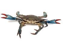 slagsmål för 2 poserar det blåa krabbor Fotografering för Bildbyråer