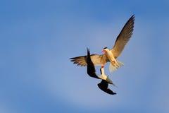 Slagsmål på skyen Härlig svartvit fågel två med röd räkningstridighet på blå himmel Duell på luften Afrikansk skumslev, Rynchop Royaltyfria Bilder