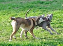 Slagsmålet av hundkapplöpning Royaltyfri Bild