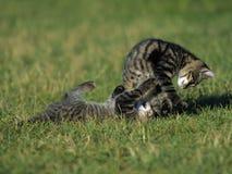 slagsmålkattungar Arkivfoto