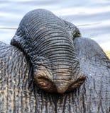 Slagtand van Indische elefant in het kamp Stock Foto