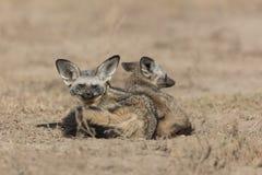 Slagträ gå i ax rävar i Serengetien, Tanzania royaltyfria foton