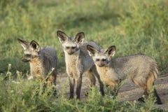 Slagträ-gå i ax rävar (Otocyon megalotis) Tanzania Royaltyfri Fotografi