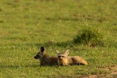 Slagträ-gå i ax rävar som vilar på gräset royaltyfria foton