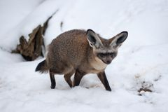 Slagträet gå i ax räven - Otocyon megalotis i Snow, den Prague zooen Royaltyfri Fotografi
