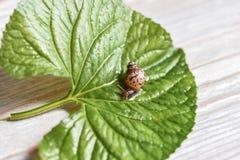 Slak Achatina Achatinaslak die op een groen blad kruipen stock afbeeldingen