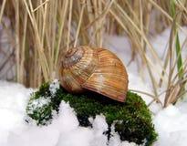 Slak in de sneeuw Stock Fotografie