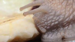 Slak die banaan voor het eerst 16 eten stock videobeelden