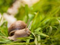 Slak die op een groen gras kruipen Royalty-vrije Stock Fotografie