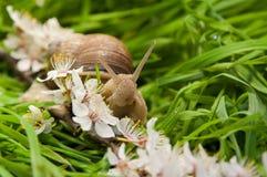 Slak die op een groen gras kruipen Stock Afbeelding