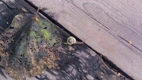 Slak die op het de herfstblad en op een boom op een zonnige de herfstdag kruipen 4k, 24fps stock video