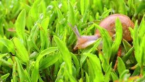 Slak die zich in gras in de tuin bewegen stock video