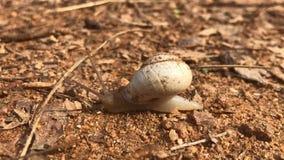 Slak die zich langzaam met modder op zijn shell bewegen stock footage