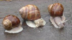 Slak drie spiraalvormige shell tentakels wilde aard stock videobeelden