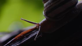 Slak Druivenslak in de natuurlijke habitat bij nacht stock videobeelden