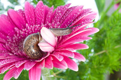 Slak en bloemen gerber Royalty-vrije Stock Fotografie