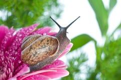 Slak en bloemen gerber Stock Afbeelding