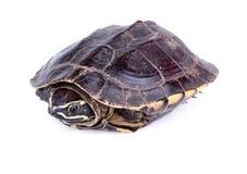 Slak-etende schildpad Royalty-vrije Stock Afbeelding