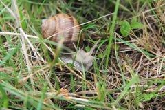 Slak in het gras Stock Afbeeldingen