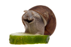 Slak met een stuk van komkommer Stock Afbeeldingen