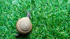 Slak met gerolde shell die op groene yard lopen stock videobeelden