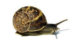 Slak met shell Stock Afbeeldingen