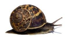 Slak met shell Stock Afbeelding