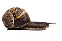 Slak met shell Royalty-vrije Stock Fotografie