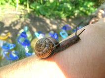Slak met shell op hand Royalty-vrije Stock Fotografie