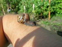 Slak met shell op hand Royalty-vrije Stock Foto