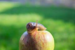 Slak op Apple Stock Afbeeldingen