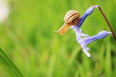 Slak op de blauwe bloem Stock Fotografie
