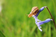 Slak op de blauwe bloem Stock Afbeeldingen