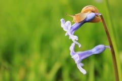 Slak op de blauwe bloem Royalty-vrije Stock Afbeelding