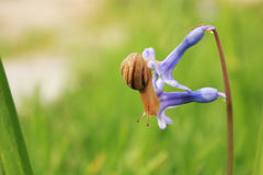 Slak op de blauwe bloem Royalty-vrije Stock Fotografie