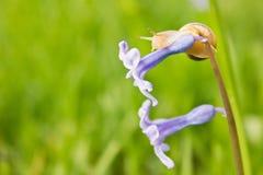 Slak op de blauwe bloem Stock Foto