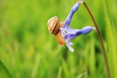 Slak op de blauwe bloem Stock Afbeelding