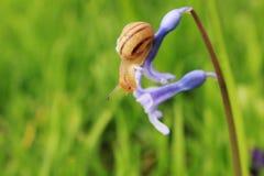Slak op de blauwe bloem Royalty-vrije Stock Afbeeldingen
