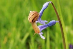 Slak op de blauwe bloem Royalty-vrije Stock Foto