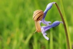 Slak op de blauwe bloem Royalty-vrije Stock Foto's