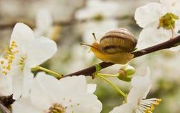 Slak op de bloeiende boom Stock Fotografie